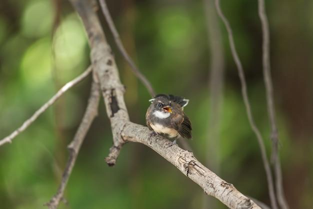 Vogel (malaysian pied fantail) in einer natur wild