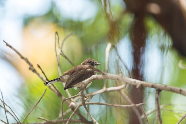 Vogel (malaysischer gescheckter fantail) in einer wilden natur