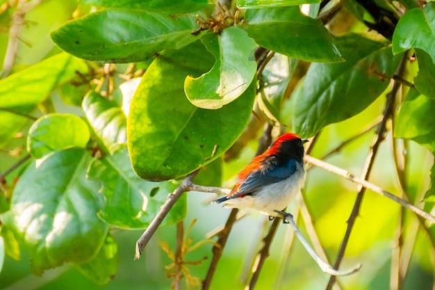 Vogel (nectariniidae) auf ästen von büschen, johannisbeeren.