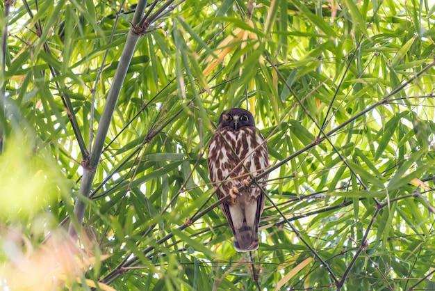 Vogel (northern boobook) in einer wilden natur
