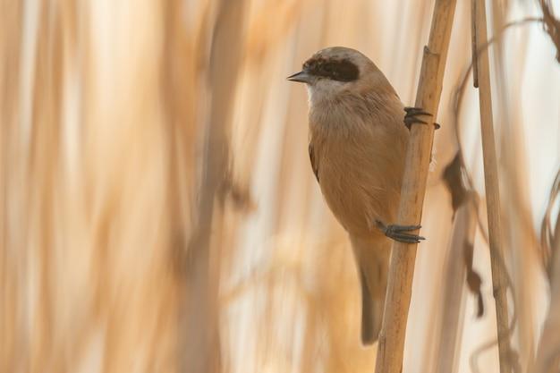 Vogel penduline tit remiz pendulinus männlich. nahansicht.