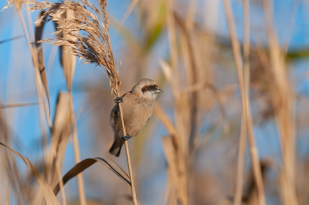 Vogel penduline tit remiz pendulinus. nahansicht.