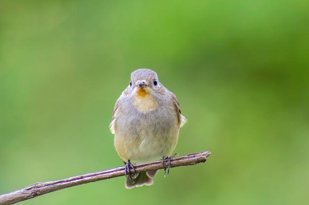 Vogel, rotkehlfliegenfänger (ficedula albicilla) auf dem niederlassungsbaum
