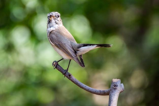 Vogel (rotkehlschnäpper, taiga-schnäpper, ficedula albicilla, ficedula parva)