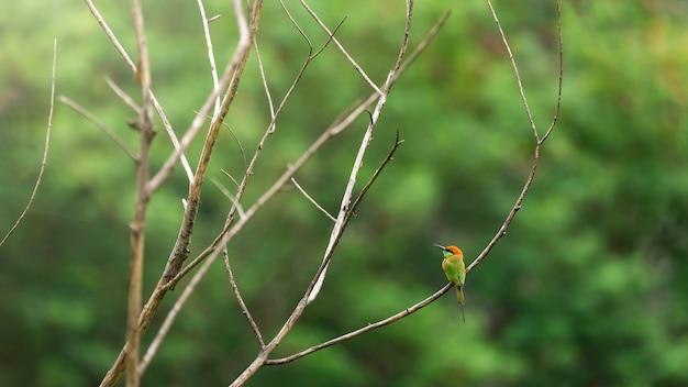 Vogel scape, grüner bienenfresser