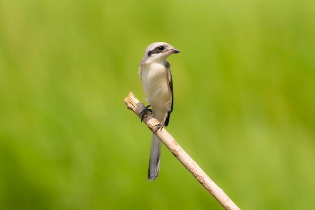 Vogel, schachtvogel mit buchtrücken / lanius vittatus