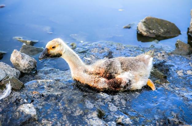 Vogel steckte in verschmutztem wasser mit teer fest. sterbende tiere in industrieabfällen. schmutzige flüsse und ozeane mit öl. kleine gans in gefahr. umweltproblem. schädlicher mensch. ökologisches desaster.