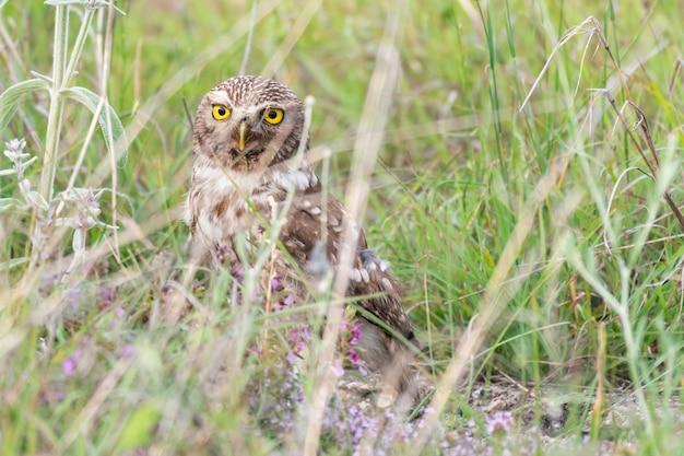 Vogel steinkauz athene noctua versteckt sich im gras.