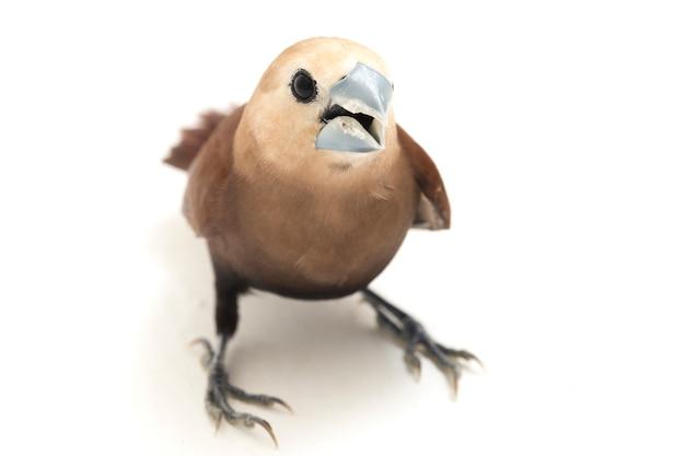Vogel weißköpfiger muniafink isoliert