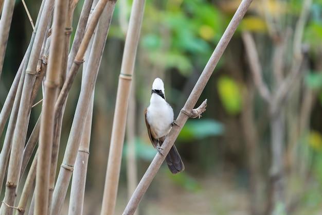 Vogel (white-crested laughingthrush) in der natur wild