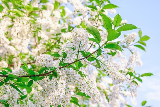 Vogelkirschblüten im frühjahr gegen den blauen himmel
