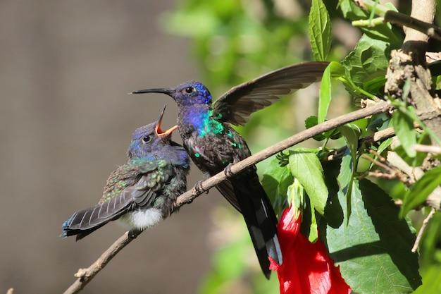 Vogelkolibri, der sein küken füttert.