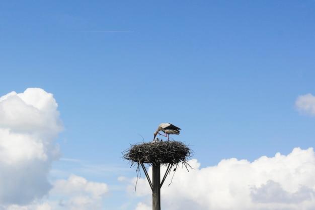 Vogelkranich auf dem nest, wildtierthema, blauer himmel und tageslicht