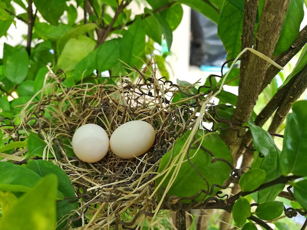 Vogelnest-weißtauben-taubeneier legen auf das nest