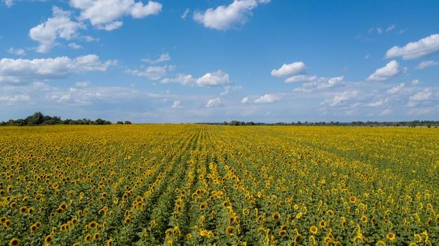 Vogelperspektive des bebauten sonnenblumenfeldes im sommer