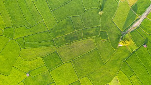Vogelperspektive des grünen und gelben reisfeldlandschaftsunterschiedlichen musters am morgen im nordthailand