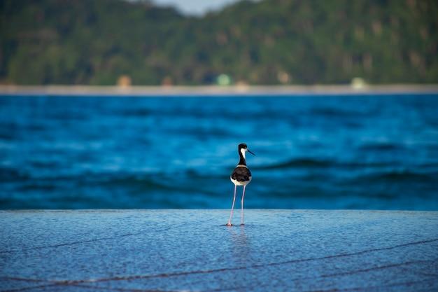 Vogelpfahl, der am campeche-strand florianópolis nach futter sucht
