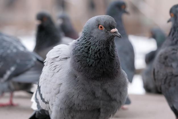 Vogelporträt der wilden stadttauben in der winterzeitnahaufnahme