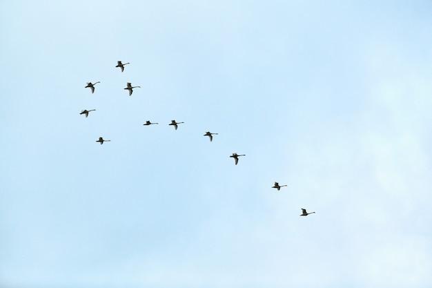Vogelschwarm, schwäne fliegen hoch im blauen himmel. flug in v-formation