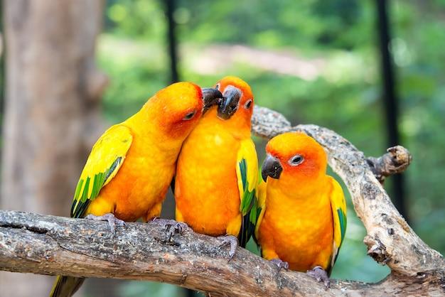 Vogelstange des sunconure drei in der hölzernen niederlassung im wald. sunconure bird interaktion.