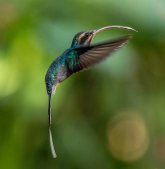 Vogeltier-summenvogel auf costa rica