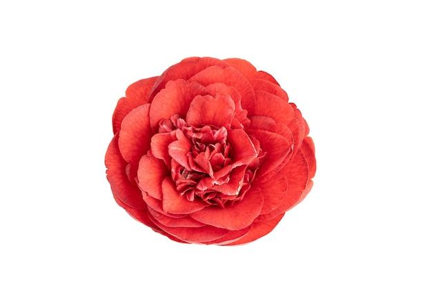 Voll blühende rote kamelienblume lokalisiert auf weiß. kamelie japonica