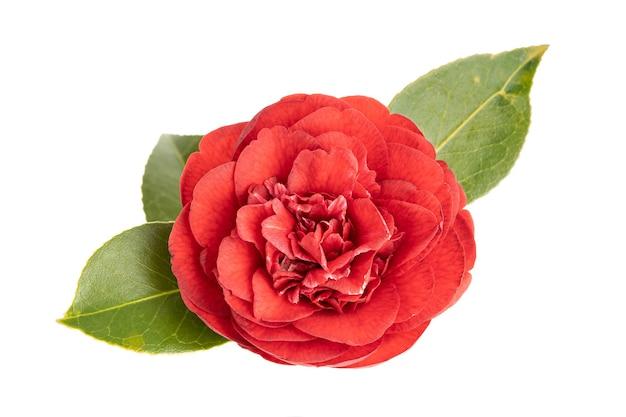 Voll blühende rote kamelienblume und blätter lokalisiert auf weiß. kamelie japonica