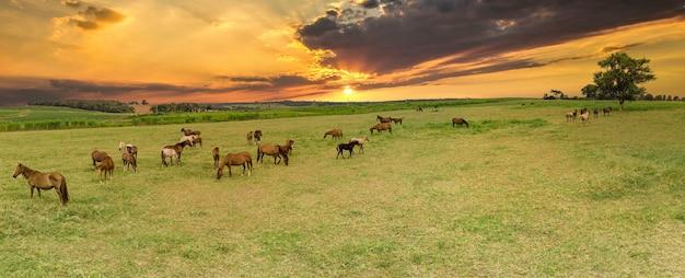 Vollblutpferde, die bei sonnenuntergang auf einem feld weiden lassen.