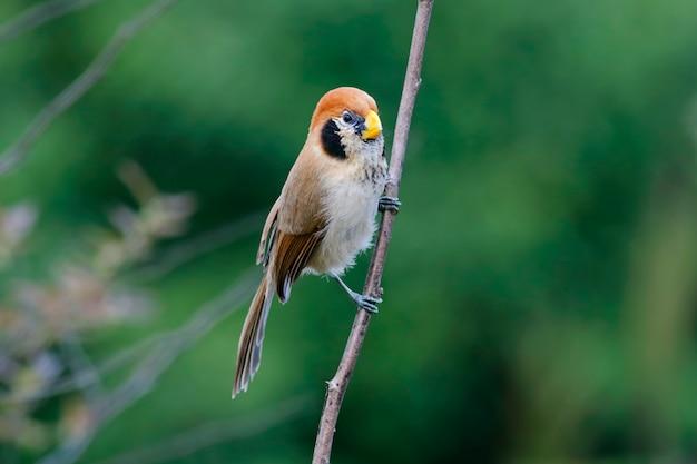 Vollbusigen papageienschnabel paradoxornis guttaticollis schöne vögel von thailand