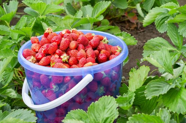 Voller eimer frisch ausgewählte erdbeeren im sommergarten