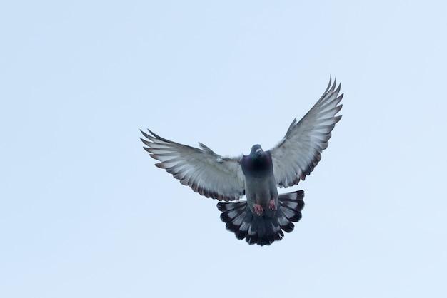 Voller körper der fliegenden brieftaube gegen den klaren weißen himmel