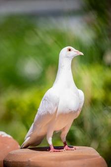 Voller körper des porträts des taubenvogels der weißen feder, der auf hauptdachboden steht