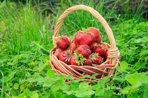 Voller korb mit frisch gepflückten roten reifen erdbeeren auf grünem grashintergrund