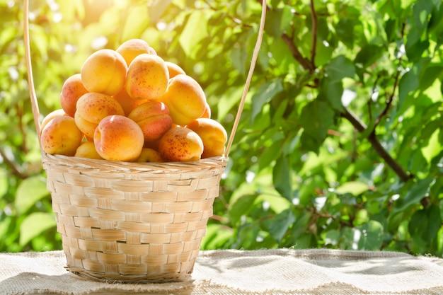 Voller korb von aprikosen im garten