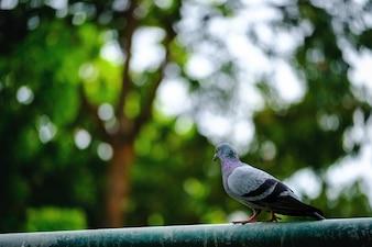 Voller Körper des Taubenvogels, der auf grünem Naturhintergrund steht