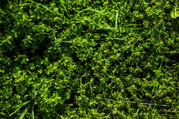 Voller rahmen von grünen bermuda-butterblumeblättern