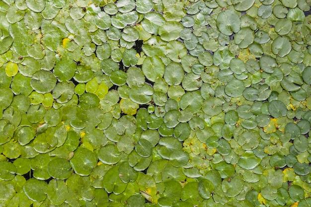 Voller rahmen von vibrierenden grünen lotosblättern auf teichoberfläche
