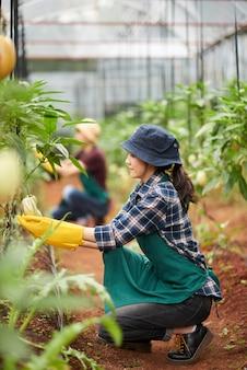 Voller schuss des weiblichen agronomen, der um der gewächshausanlage sich kümmert