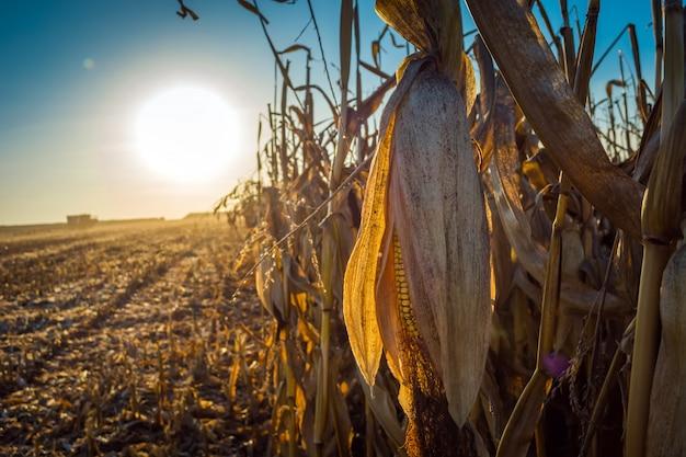 Volles korn des maisstiels auf dem hintergrund der sonne bei sonnenuntergang