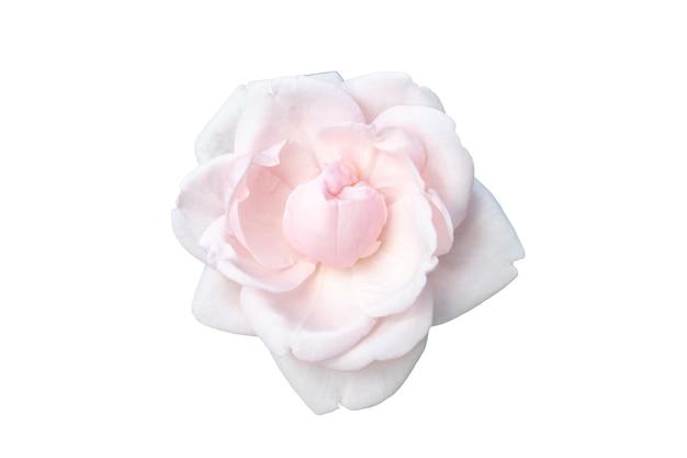 Vollständig geöffnete sanfte rosa rose isoliert auf weißem hintergrund