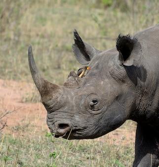 Vom aussterben bedrohtes afrikanisches spitzmaulnashorn in ostafrika