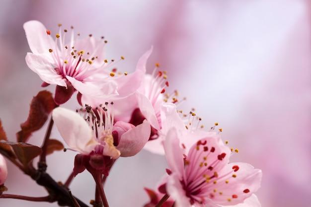 Vom sonnenlicht beleuchtet frische kirschblüten