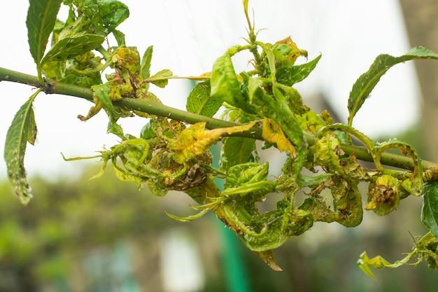 Von blattläusen betroffene pfirsichblätter