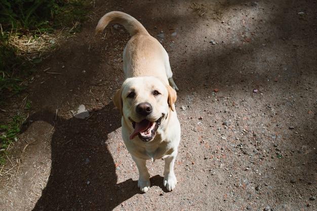 Von oben ansicht am goldenen labrador, der im frühlingspark steht, natürliches licht