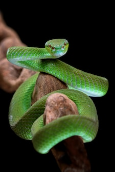 Vorderansicht der grünen albolaris-schlange mit schwarzem hintergrund