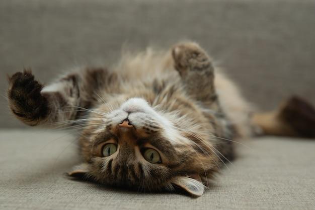 Vorderansicht der süßen schönen katze, die in ihren träumen auf einem sofa ruht