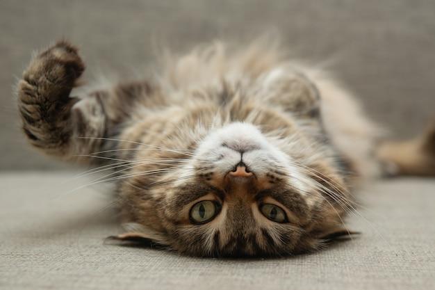 Vorderansicht der süßen schönen katze, die in ihren träumen ruht