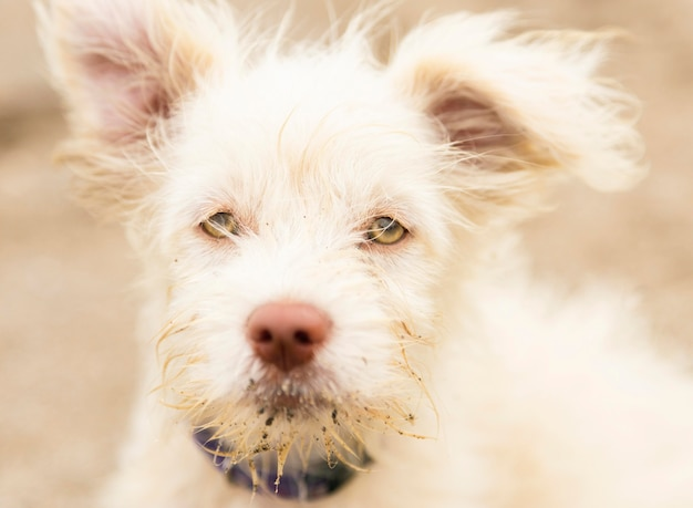 Vorderansicht des flauschigen russell-verängstigten hundes