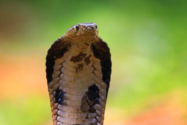 Vorderansicht des kopfes der königskobra