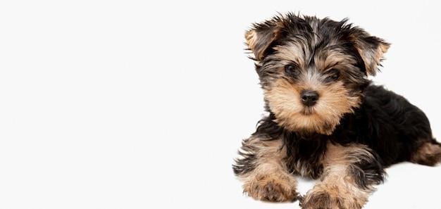 Vorderansicht des niedlichen yorkshire terrier welpen, der mit kopienraum aufwirft